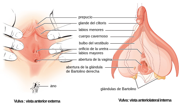 Filefemale Genitalia Figure 28 02 02 Esg Wikimedia Commons