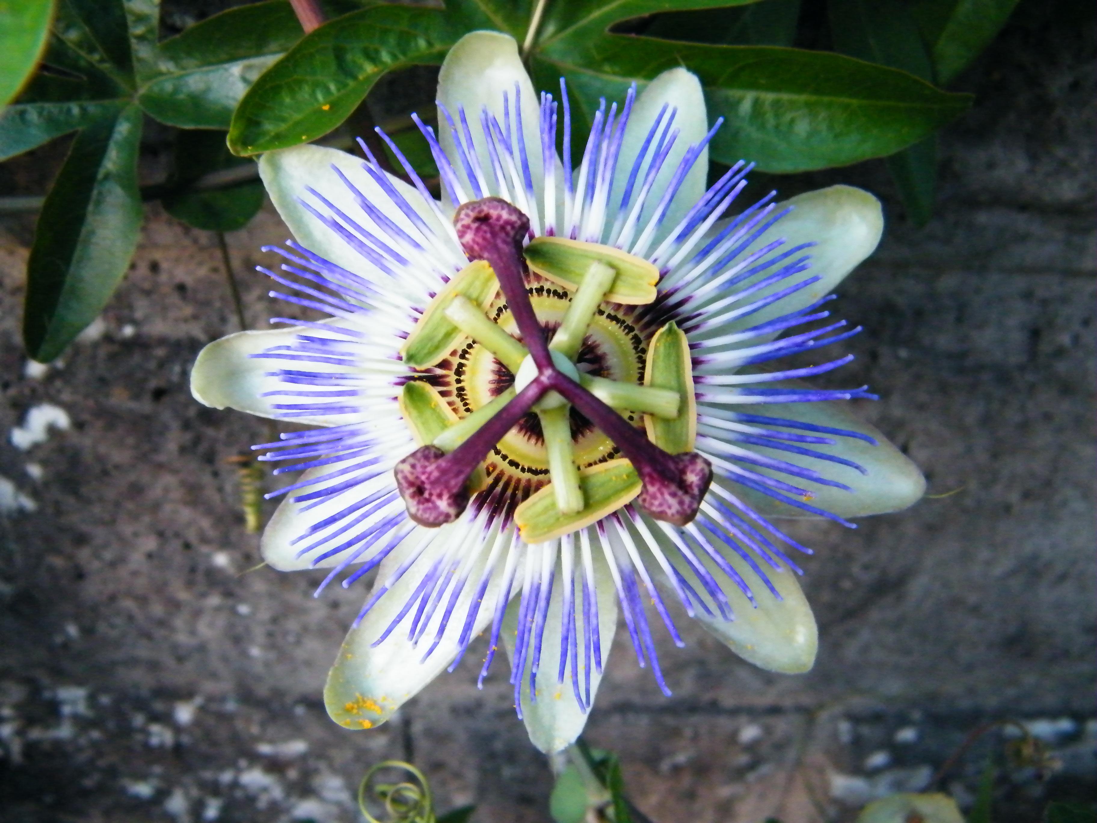 File:Fleur de jardin.JPG - Wikimedia Commons
