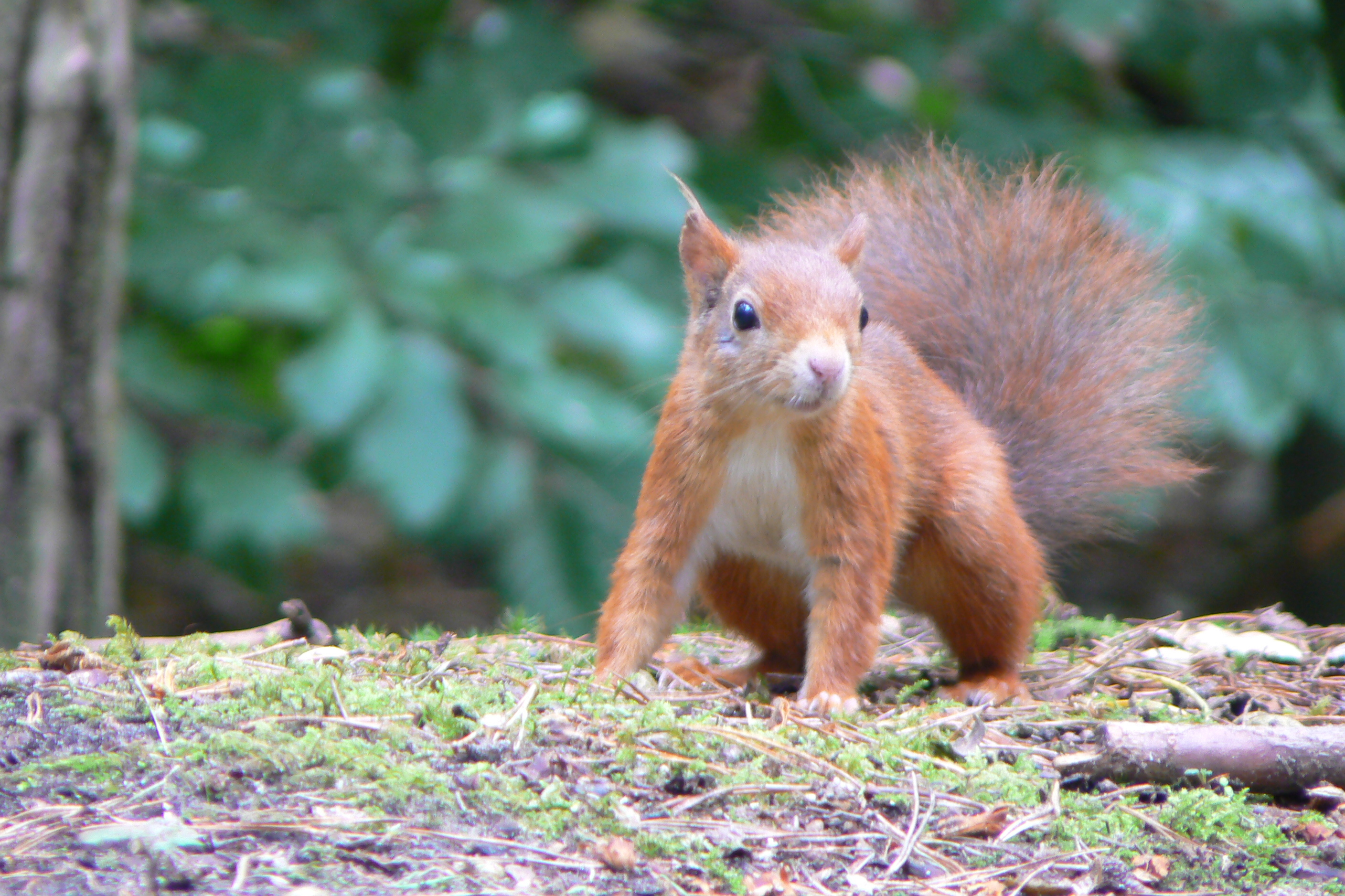Formby squirrel.jpg