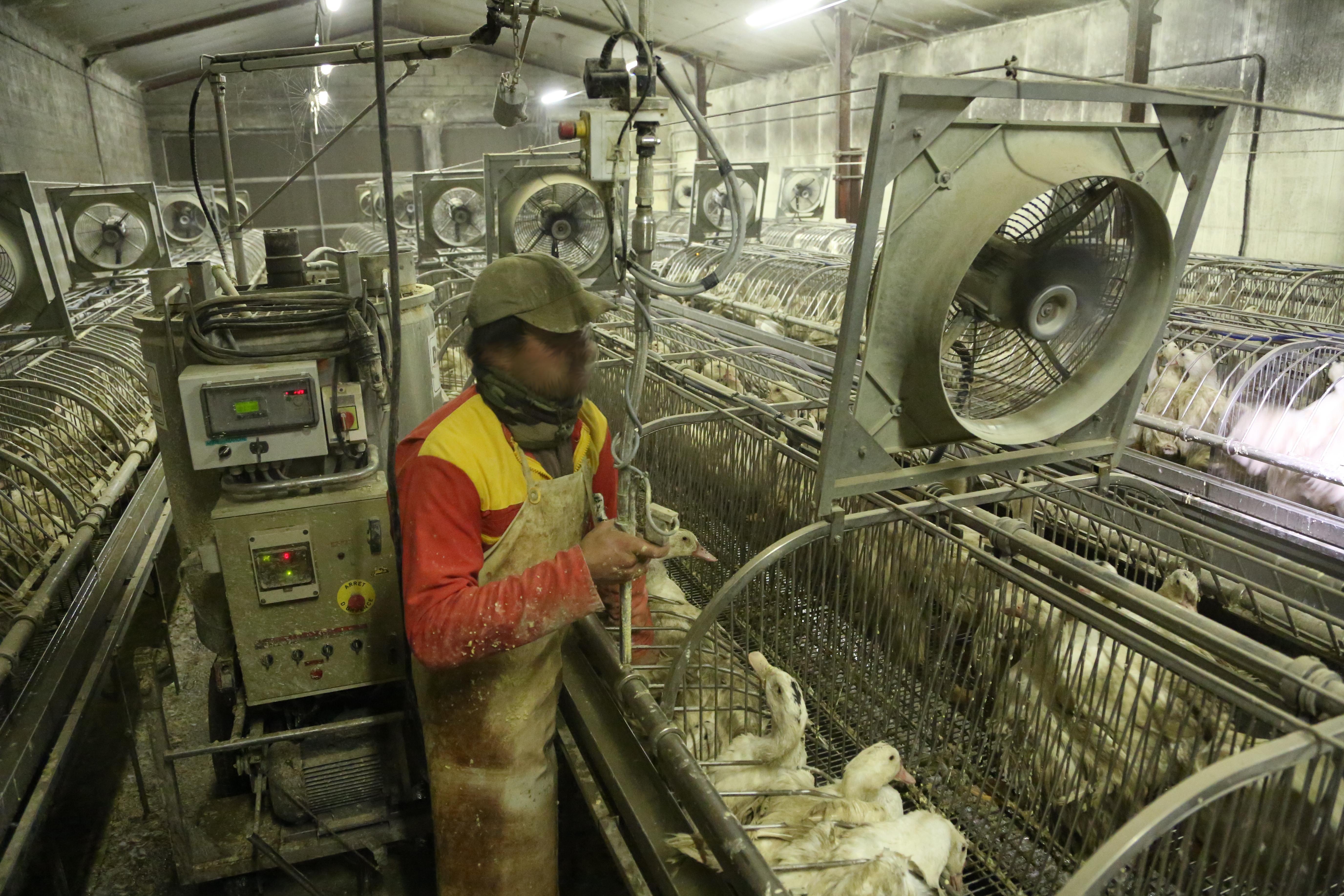 file gavage industriel des canards foie gras en cages collectives france. Black Bedroom Furniture Sets. Home Design Ideas