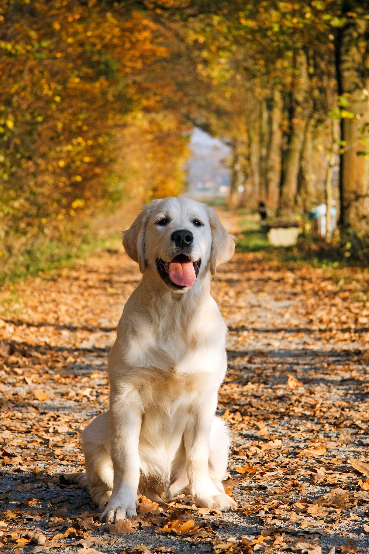 Free Dogs Autumn Wallper