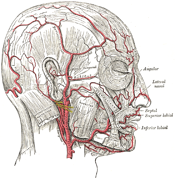 Lateral nasal branch of facial artery - Wikiwand