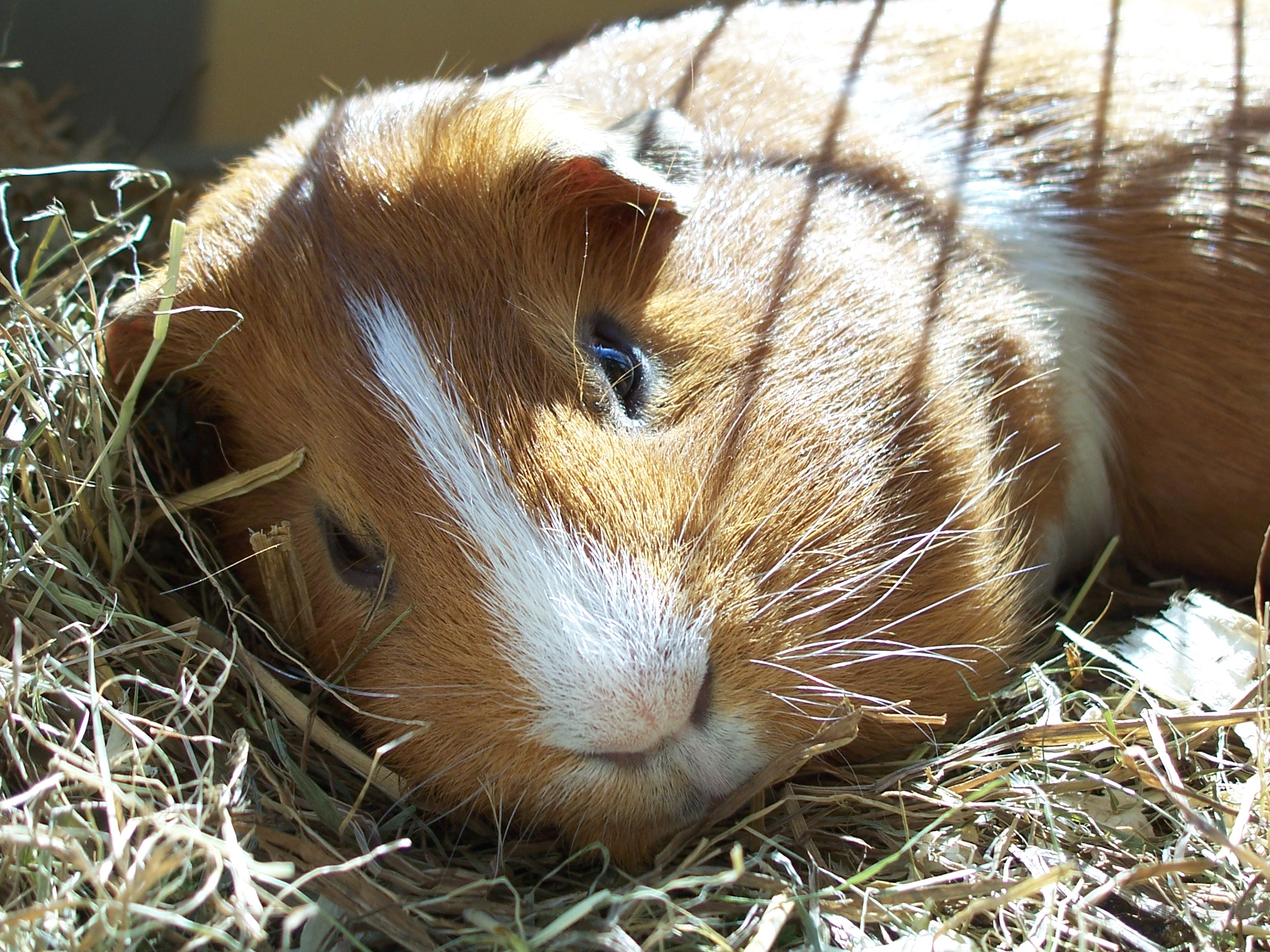 Are Guinea Pigs Allowed To Drink Sparkiling Water