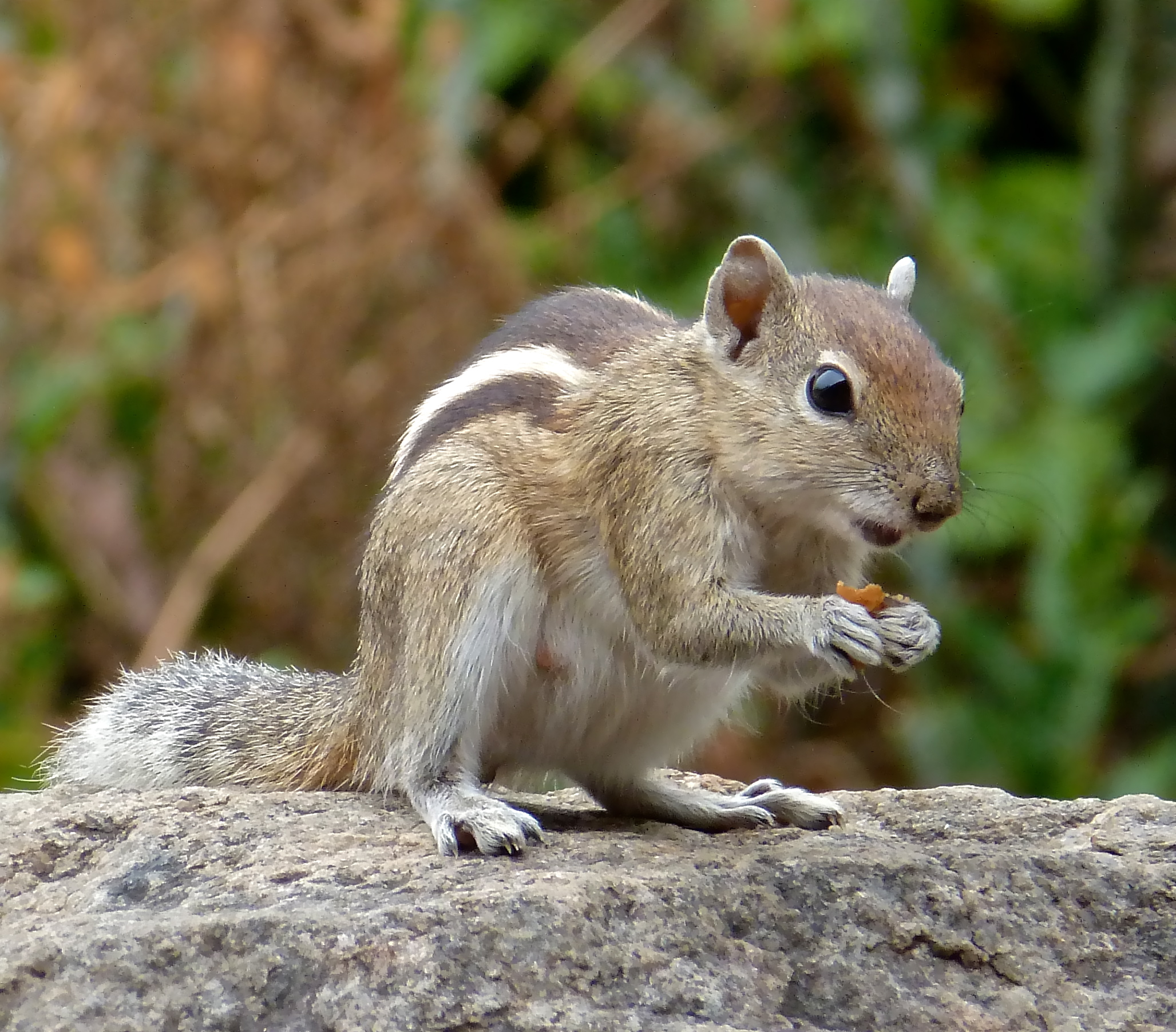 File:Indian Palm Squirrel 2013.jpg - Wikimedia Commons