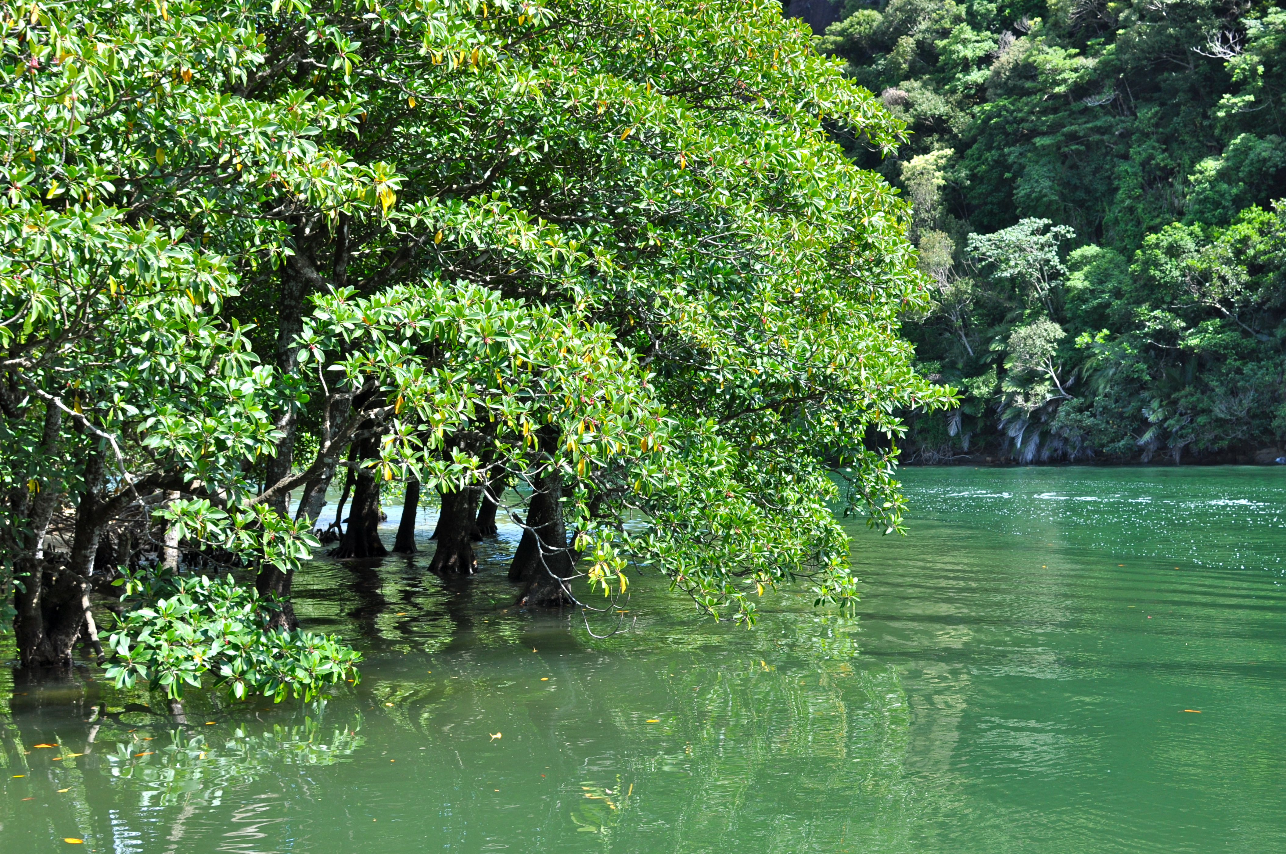 Iriomote island mangrooves