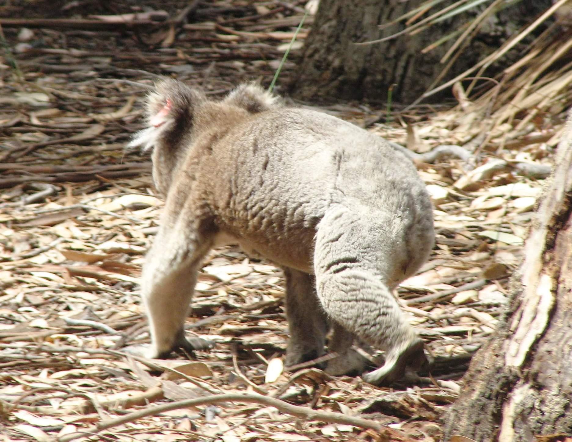 file koala walking kangaroo island jpg wikimedia commons
