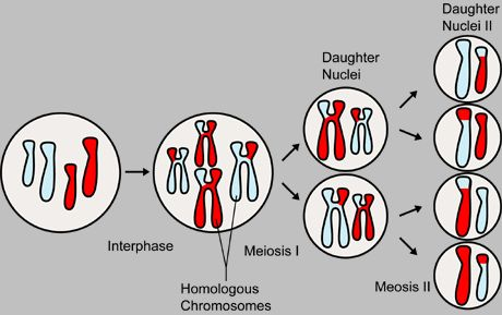 result of meiosis