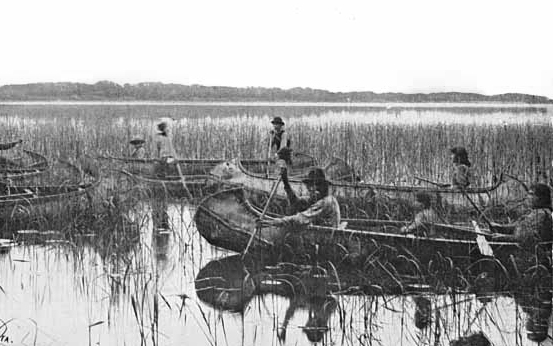Anishinaabeg harvesting wild rice on Minnesotan lake around 1905