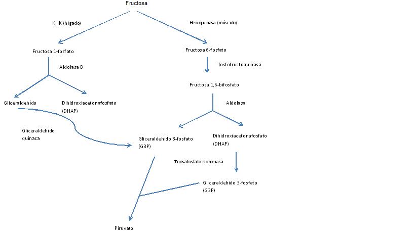 metabolismo de la fructosa wikipedia la enciclopedia libre