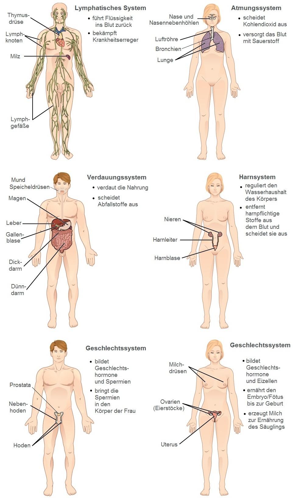 Gemütlich Organsysteme Bilder Zeitgenössisch - Menschliche Anatomie ...