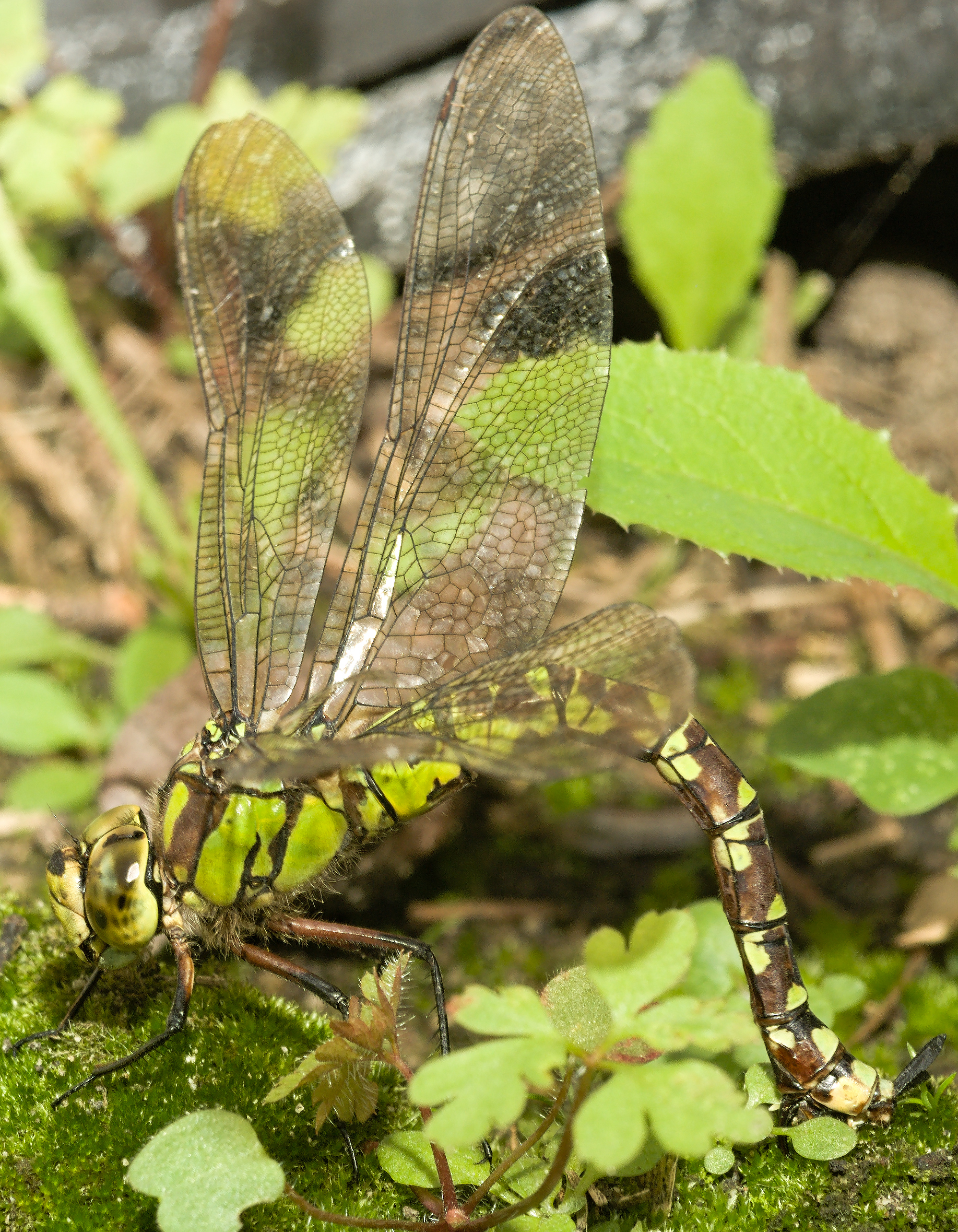 work, hereby publish it under the following license: English Southern Hawker or Blue Hawker (Aeshna Cyanea) laying eggs sex or gender: female organism
