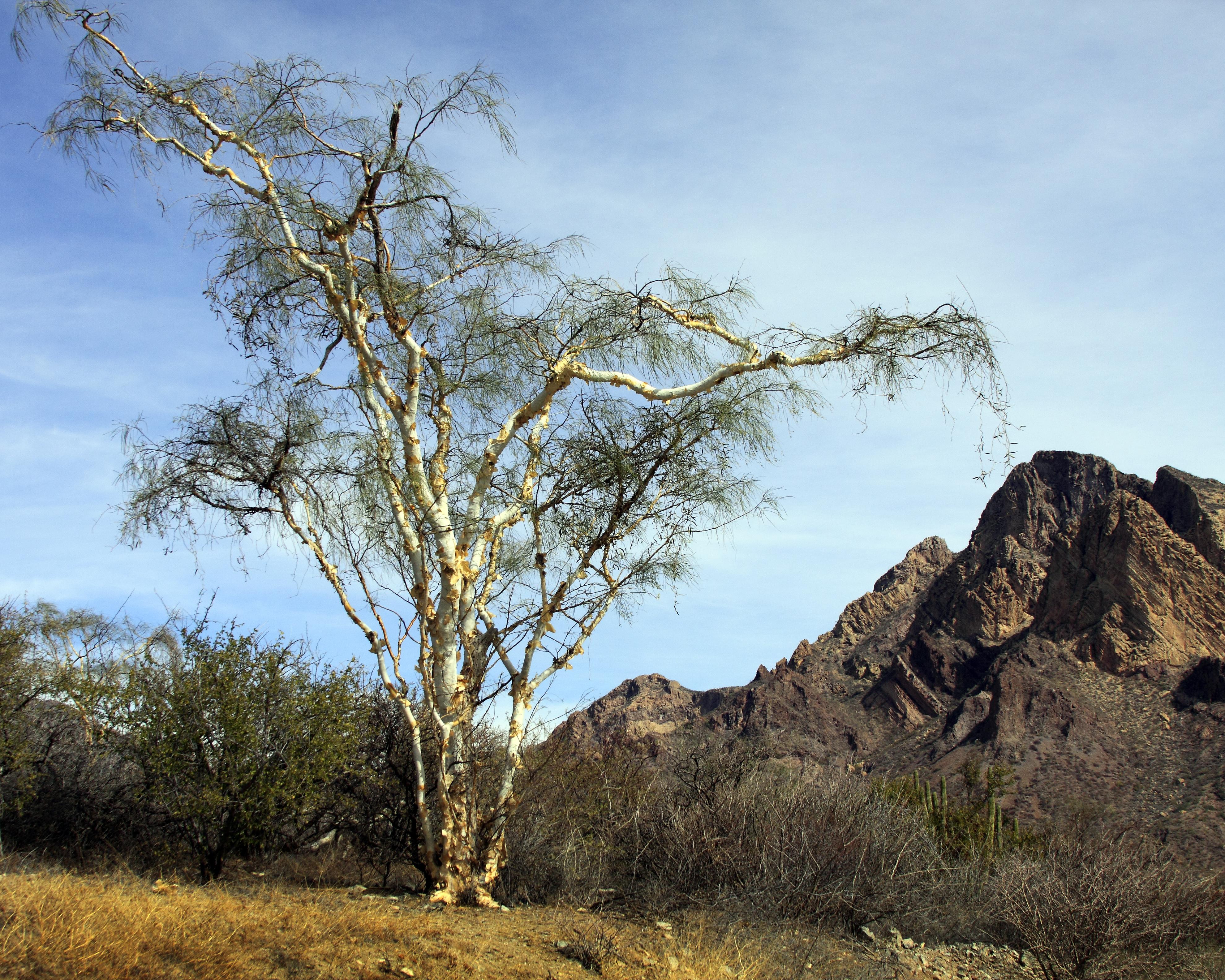 En Baja California Sur y Sonora, su uso más común es la curación de