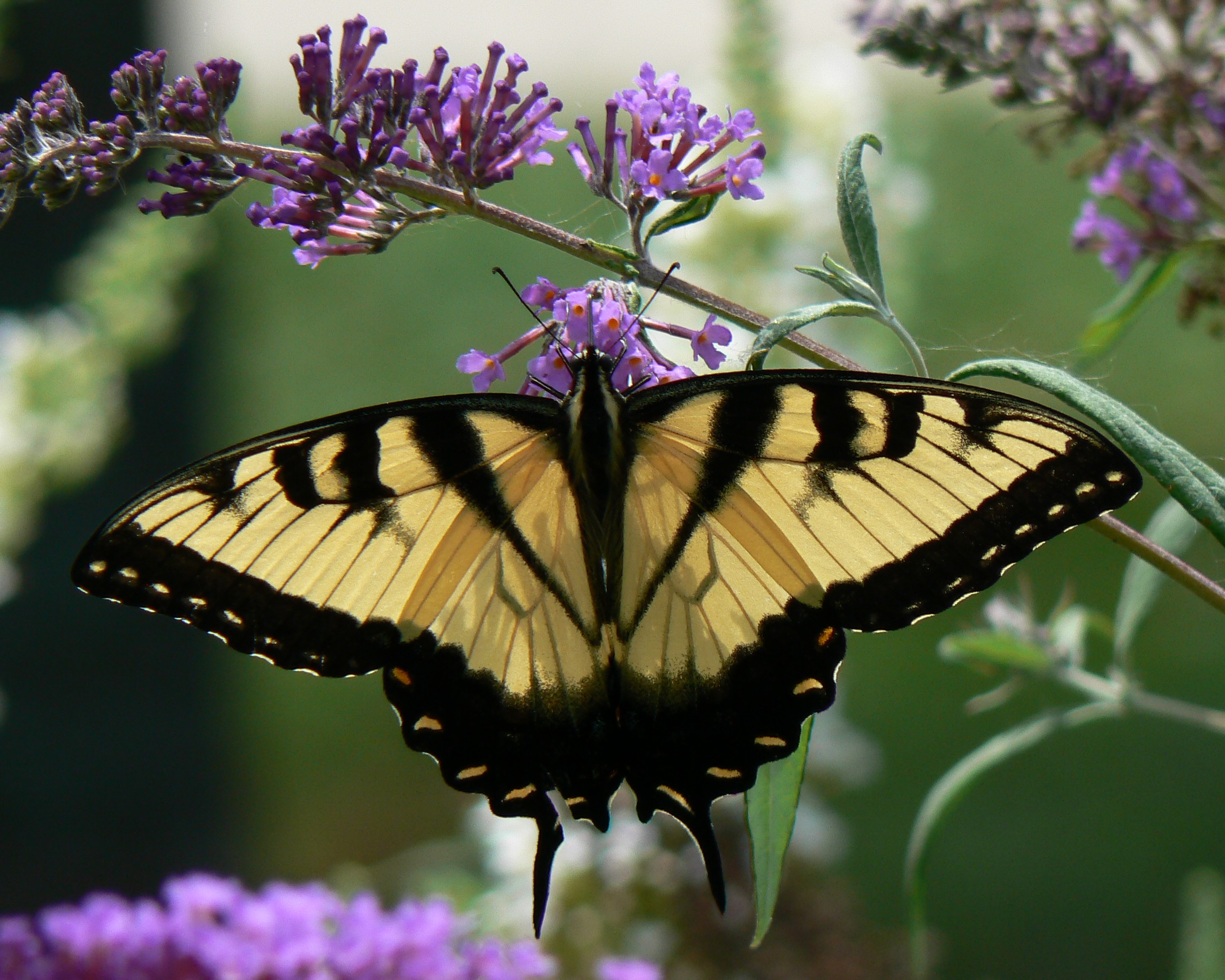 File:Papilio glaucus Eastern Tiger Swallowtail (male) 8.9.2009