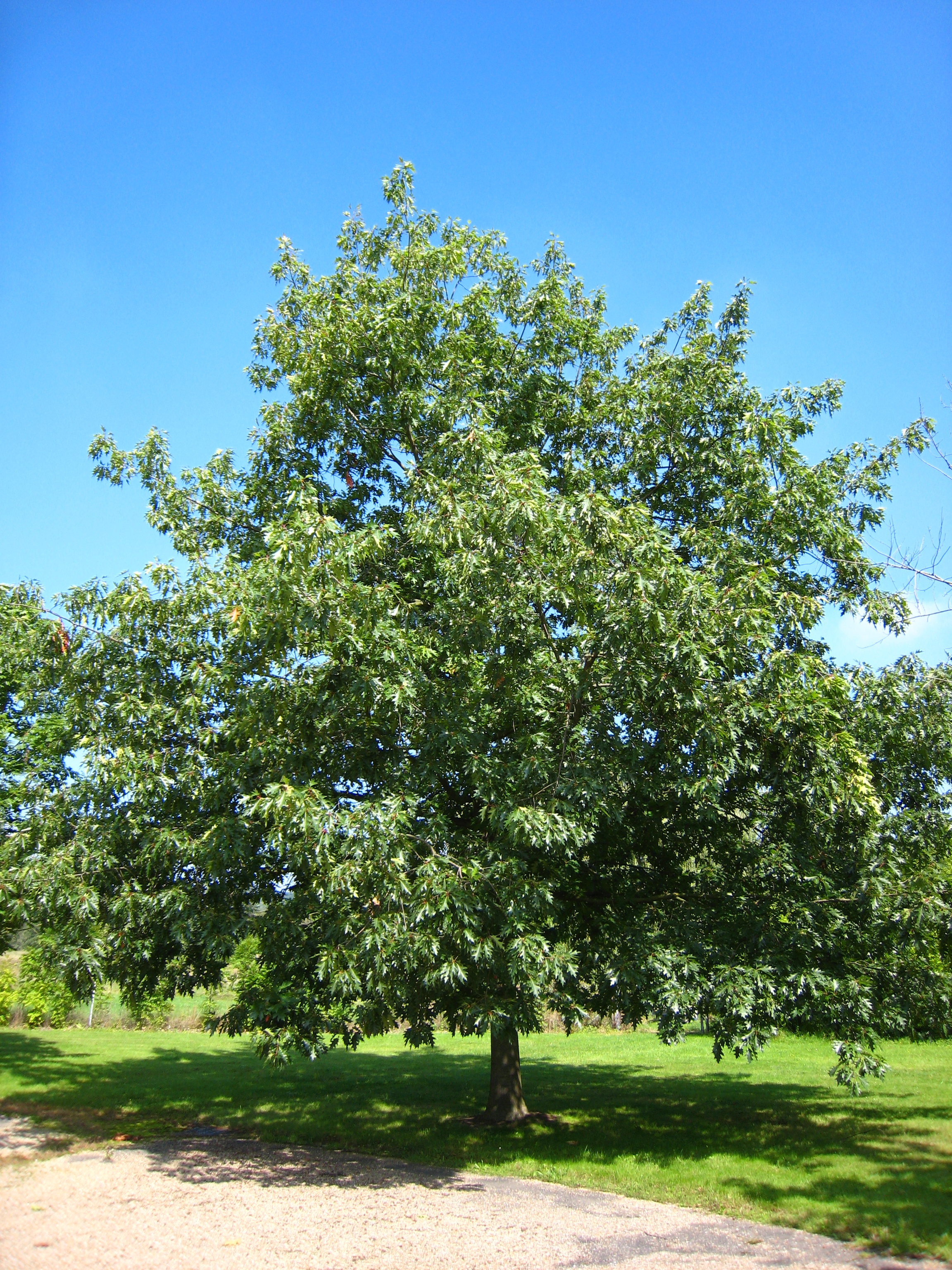 File:Quercus rubra.jpg - Wikimedia Commons