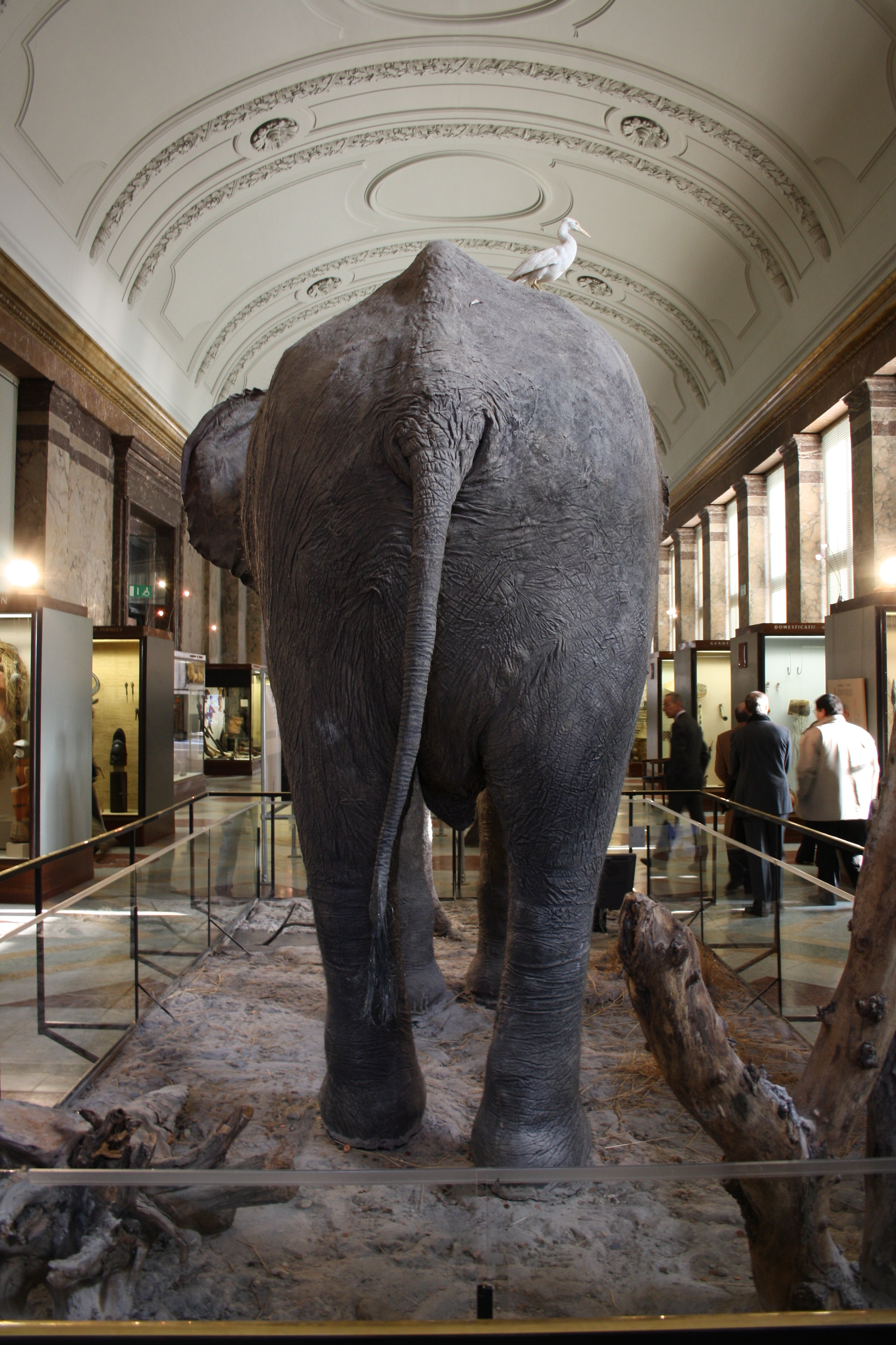 File:Royal Museum for Central Africa Stuffed Elephant 3 ...