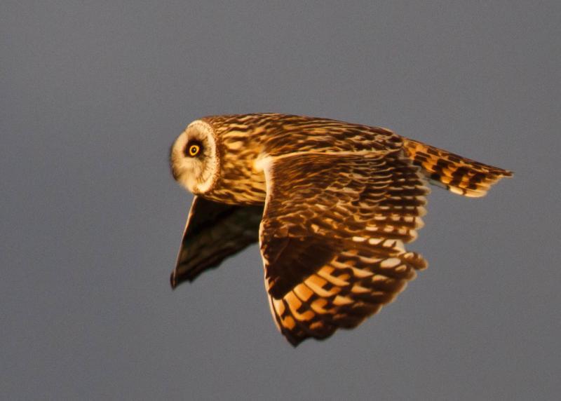 Short-eared Owl - Asio flammeus - Brandugla