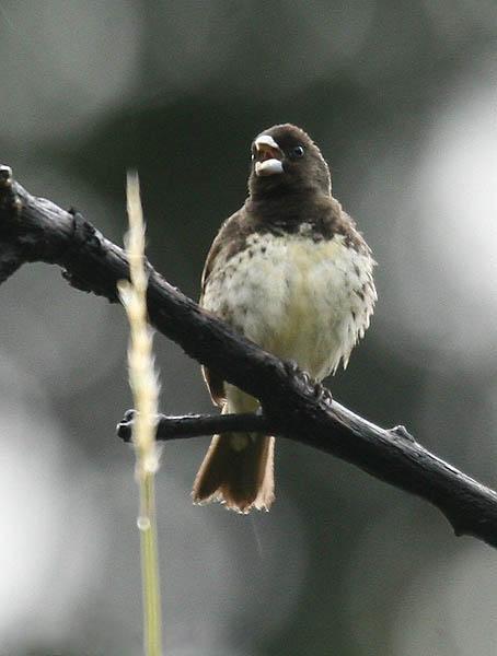 Ficheiro:Sporophila nigricollis (male) -NW Ecuador.jpg