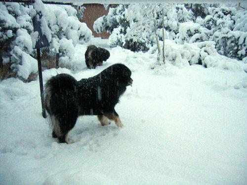 Dogo del Tíbet en la nieve