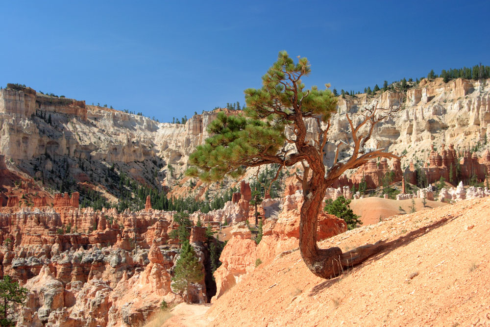 File:Twisted Tree Trunk - Bryce Canyon National Park.jpg ...