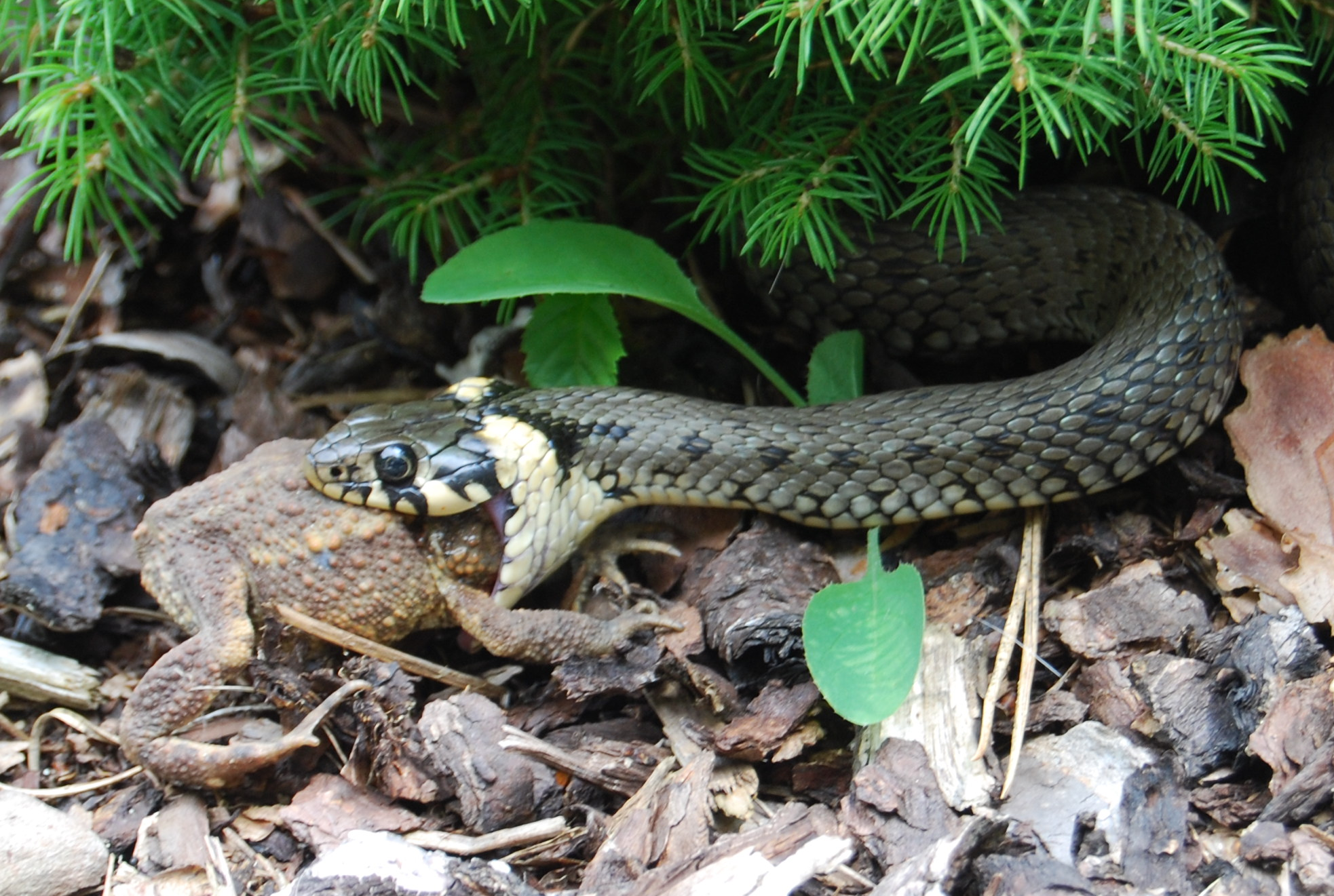 how to catch a grass snake