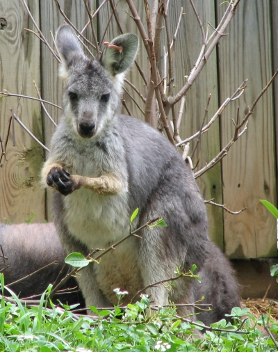 wallaroo - photo #12