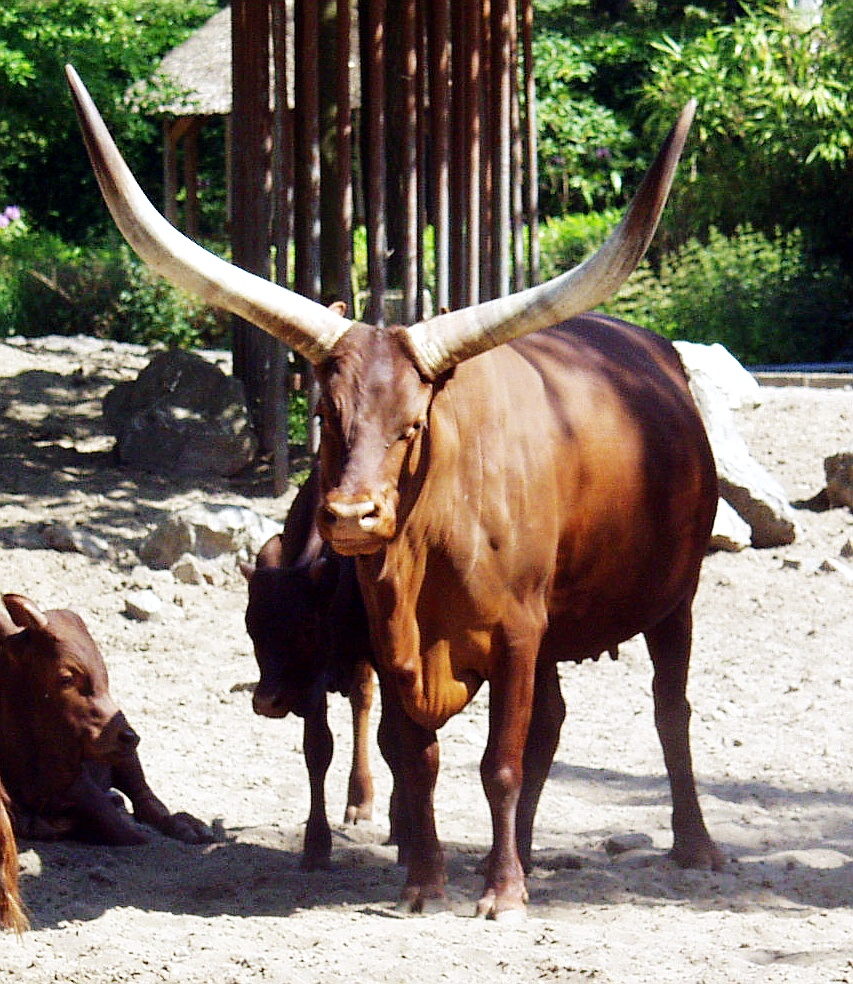 http://upload.wikimedia.org/wikipedia/commons/7/7b/Watusi_cattle_-_Watussirind.jpg