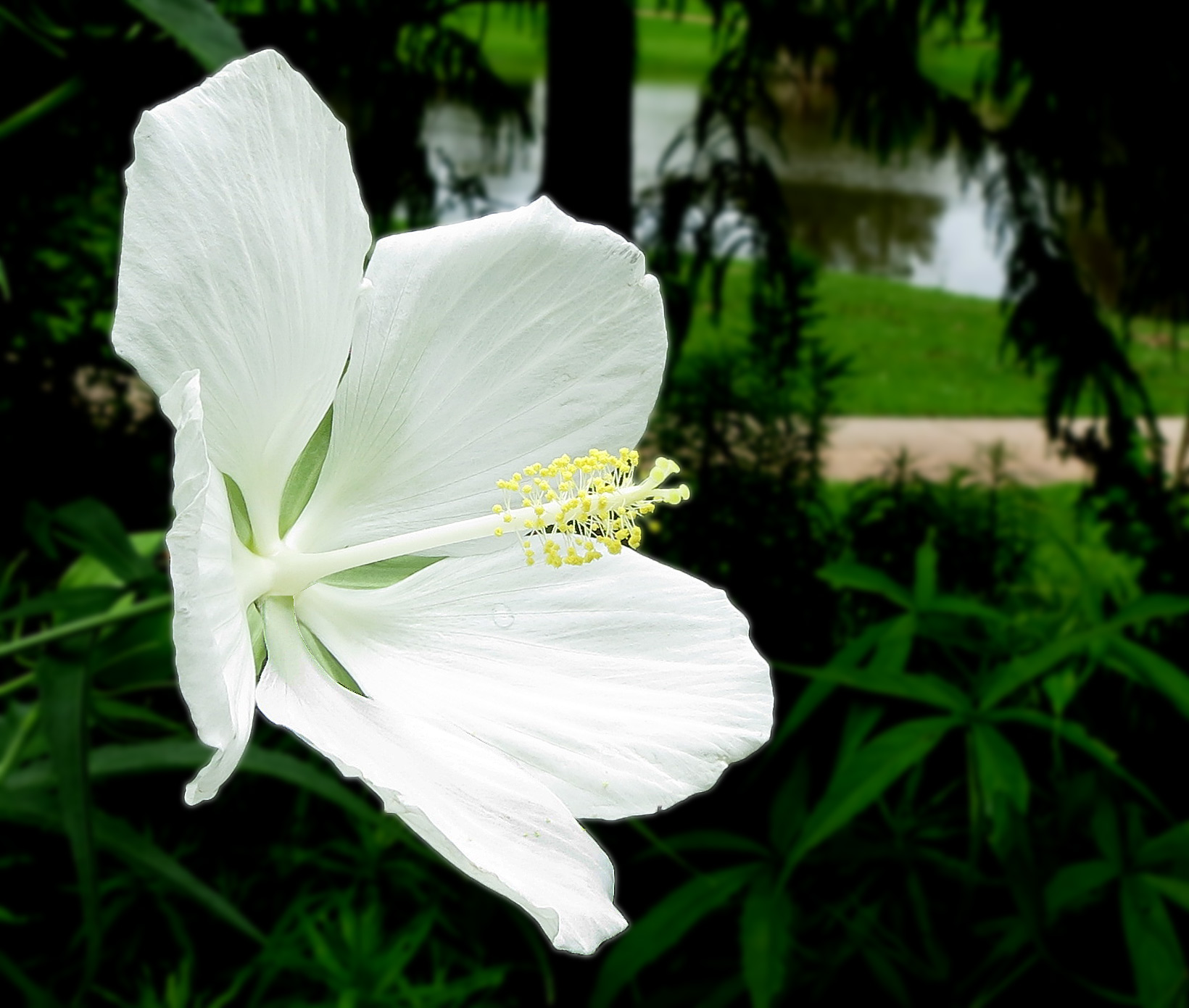 Filewhite Texas Star Hibiscus Hibiscus Coccineusjpg Wikipedia