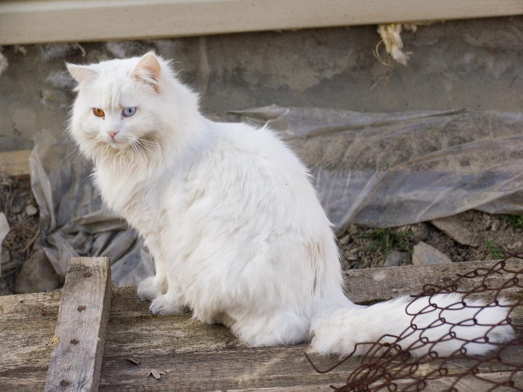White cat Krasnaya polyana