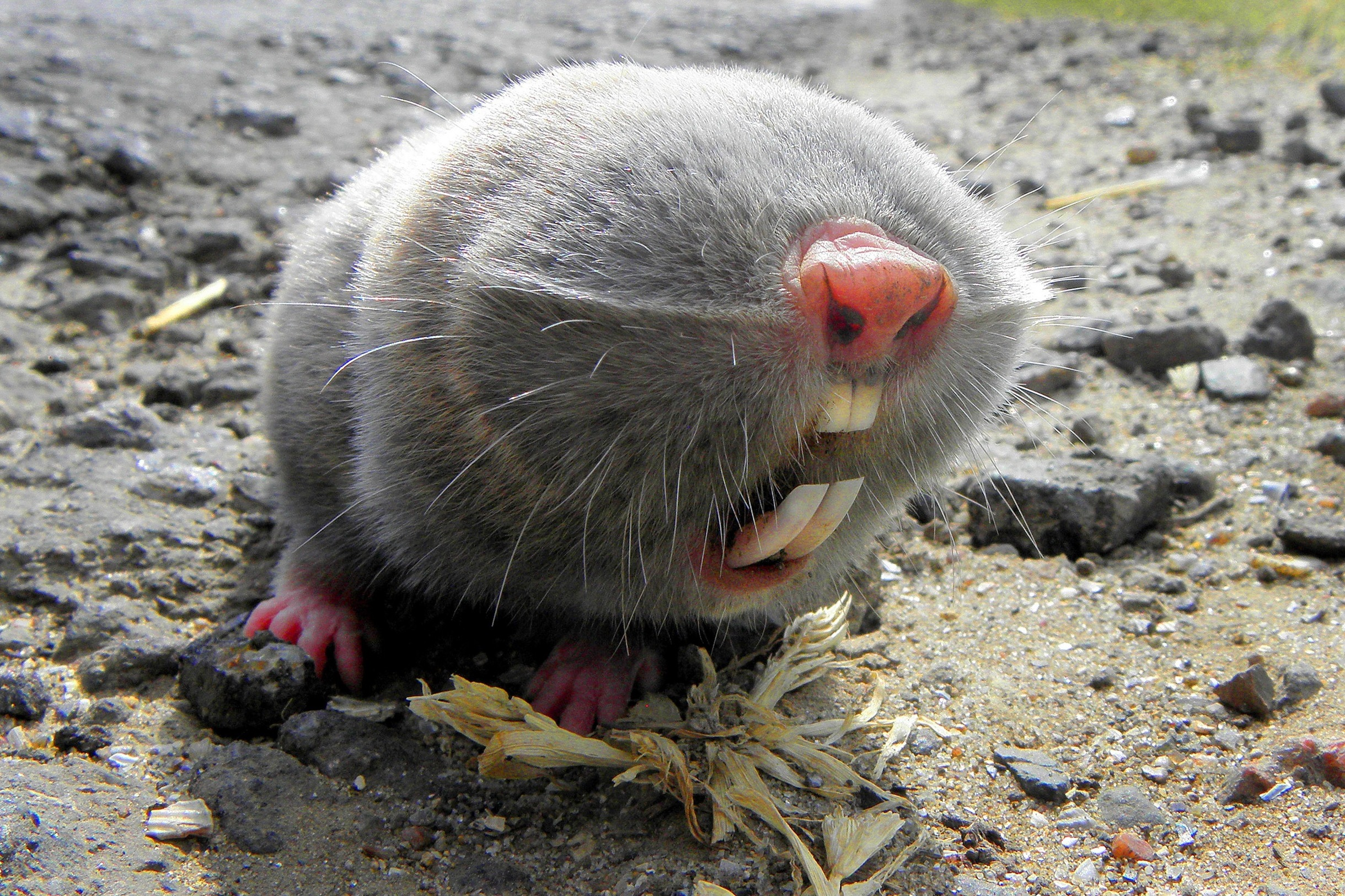 Lesser mole-rat - Wikipedia