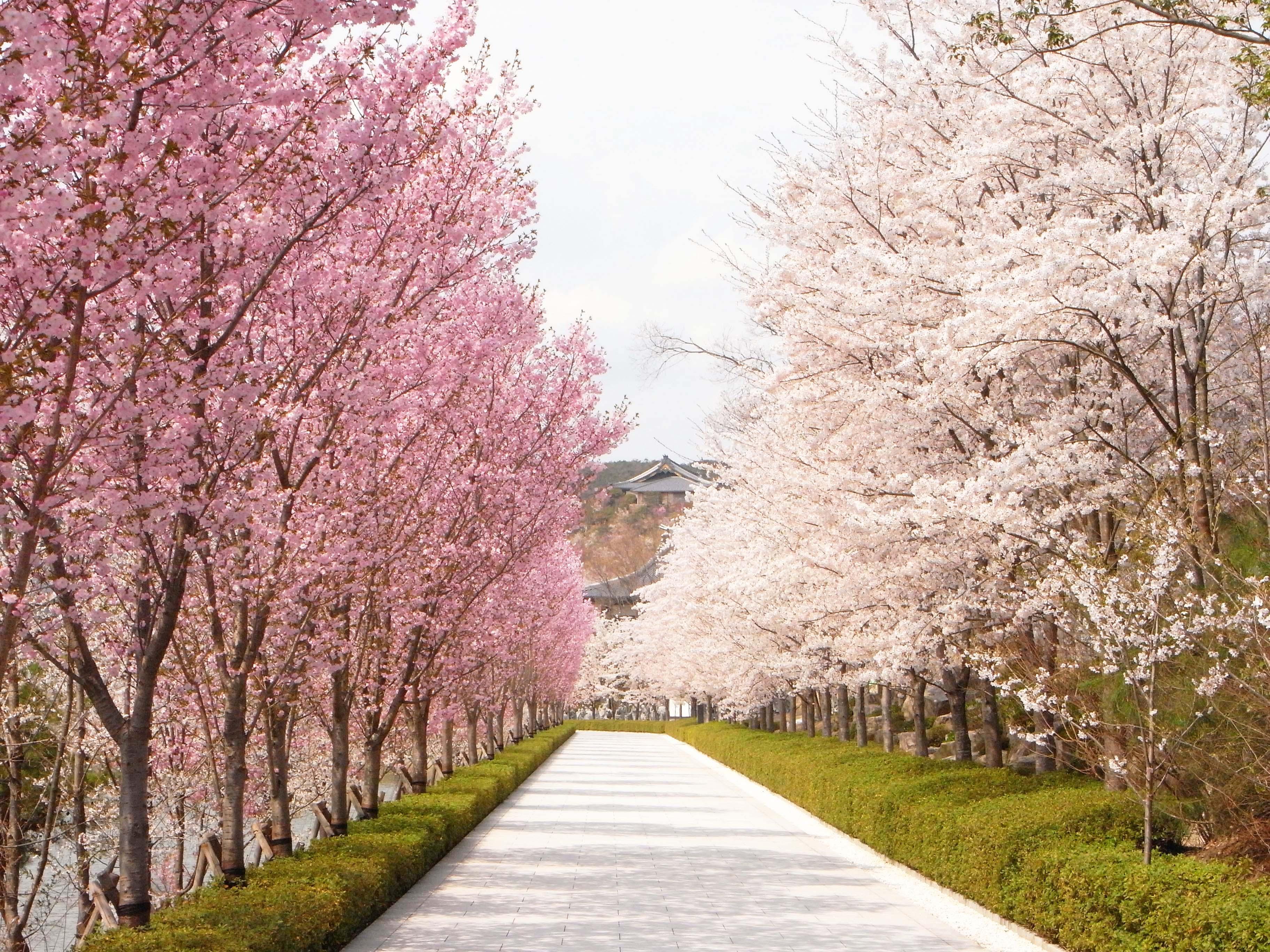 NAVER まとめ【桜】もう、みんな花見した?していない人のための桜集【舞い散る】