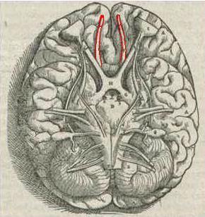 Hjärnan sedd underifrån. Luktnerverna (i rött) sticker fram från luktloberna längre in i hjärnan.