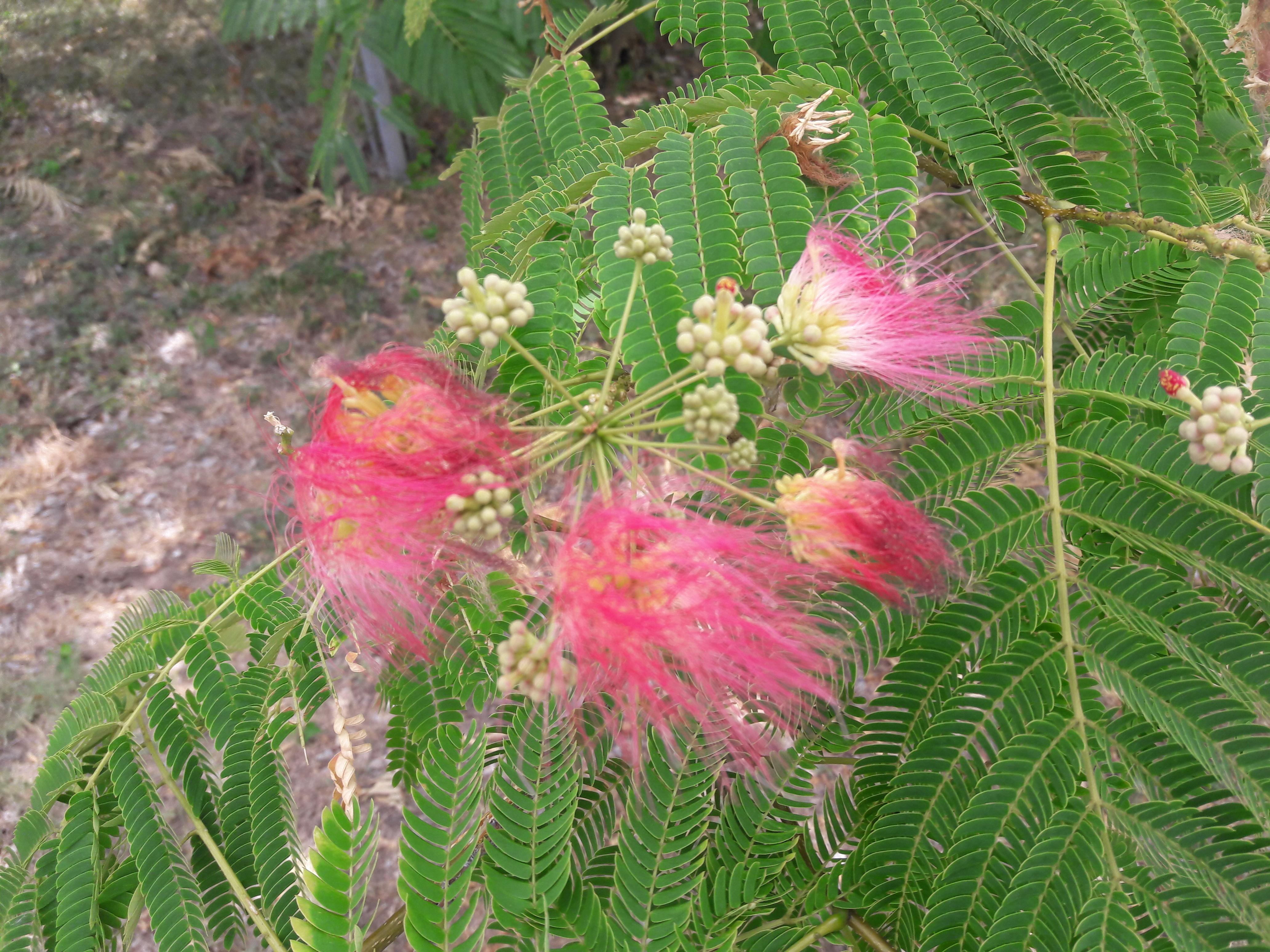 File1 Flores Rosadas Texas Pink Flower Tree 8g Wikimedia Commons