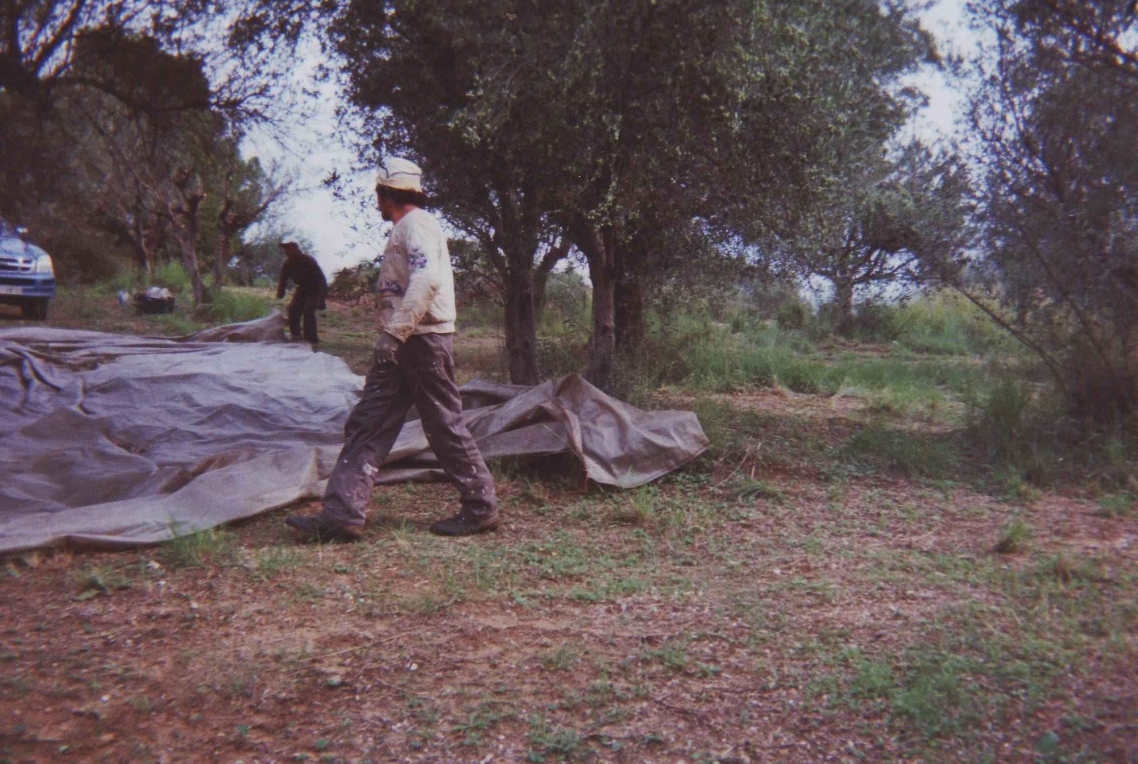 Workers spreading nets under olive trees