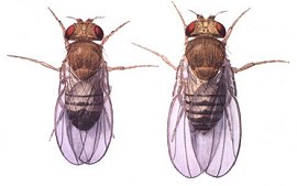 Male (left) and female D. melanogaster