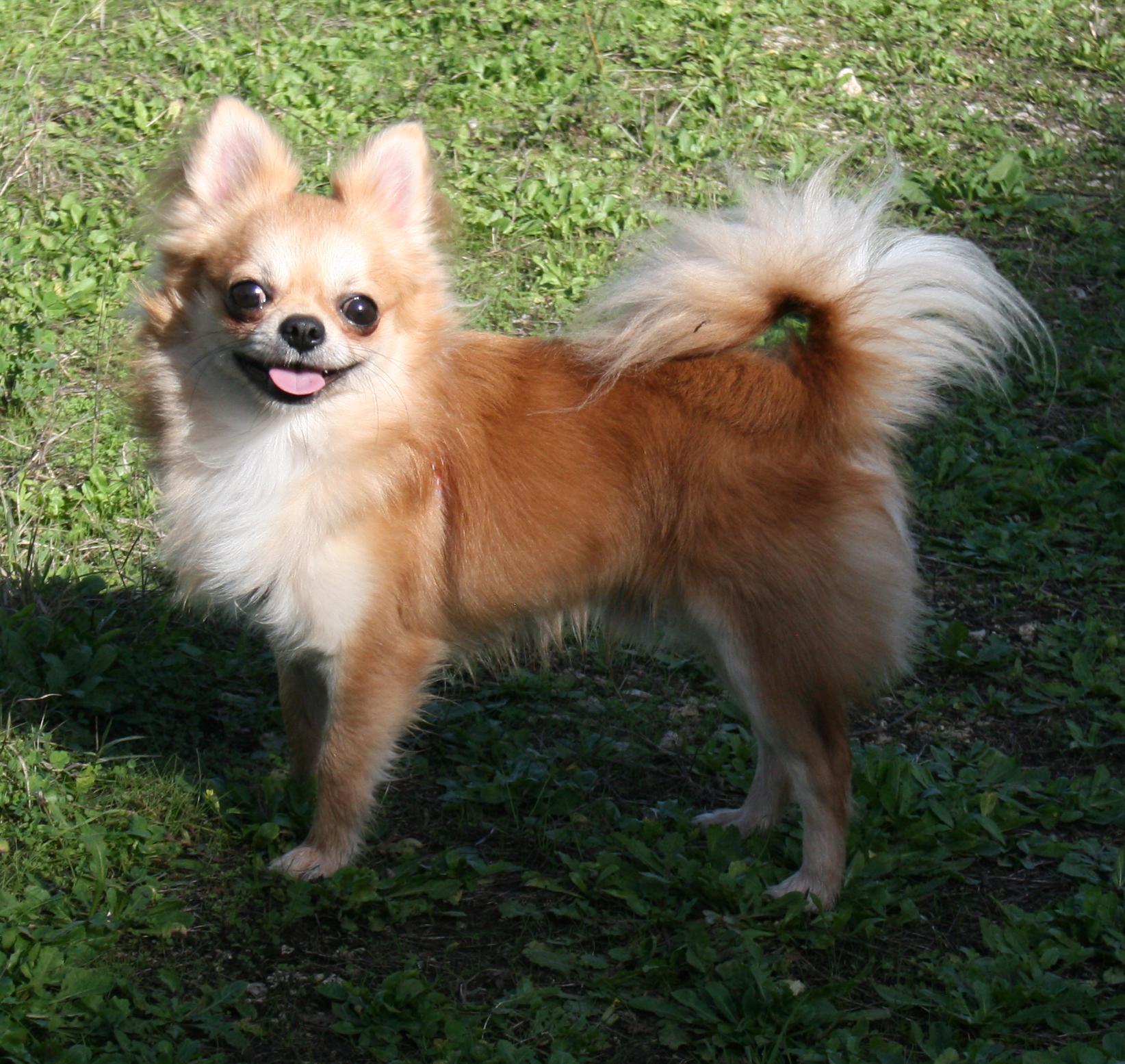 Chihuahua Razza Canina Wikipedia