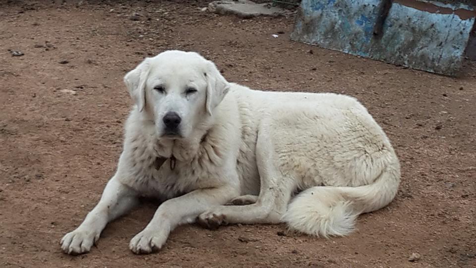 Türkischer herdenschutzhund