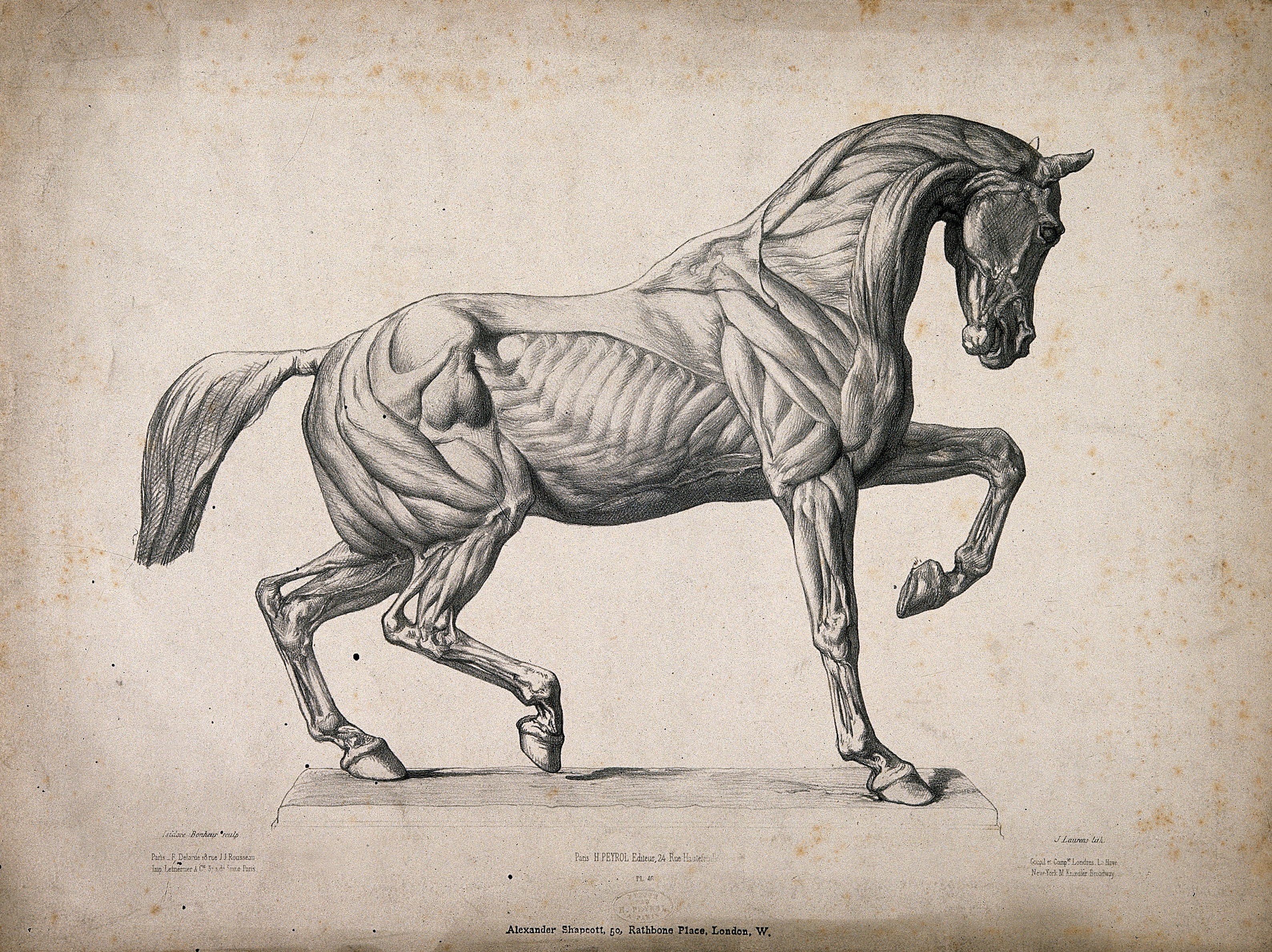 File:Anatomical engraving of a horse. Wellcome V0016883.jpg ...