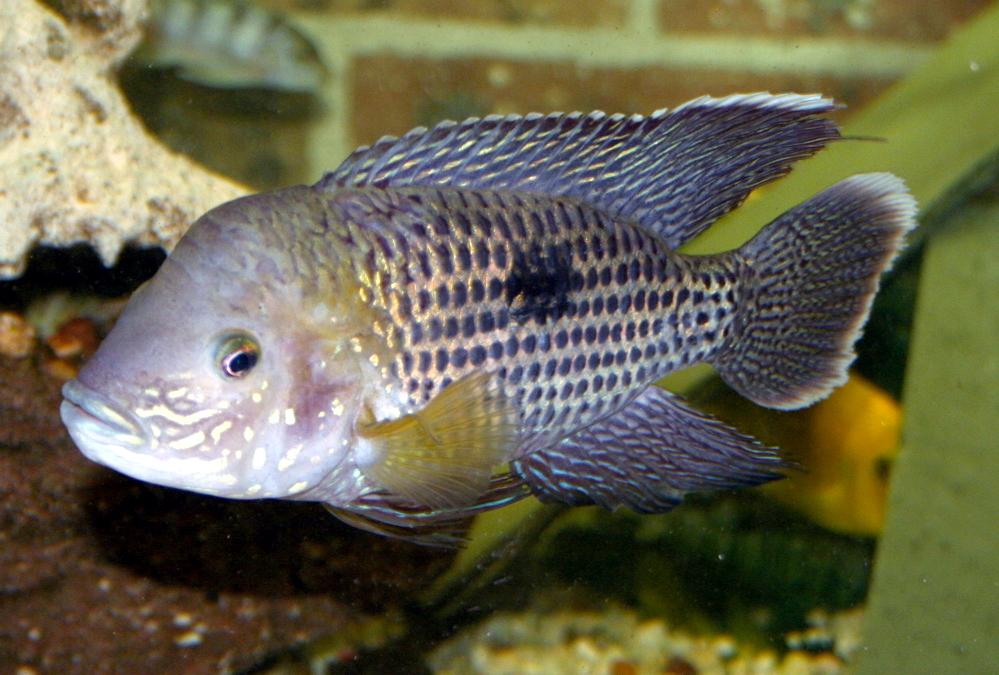 Andinoacara rivulatus - 20061112.jpg