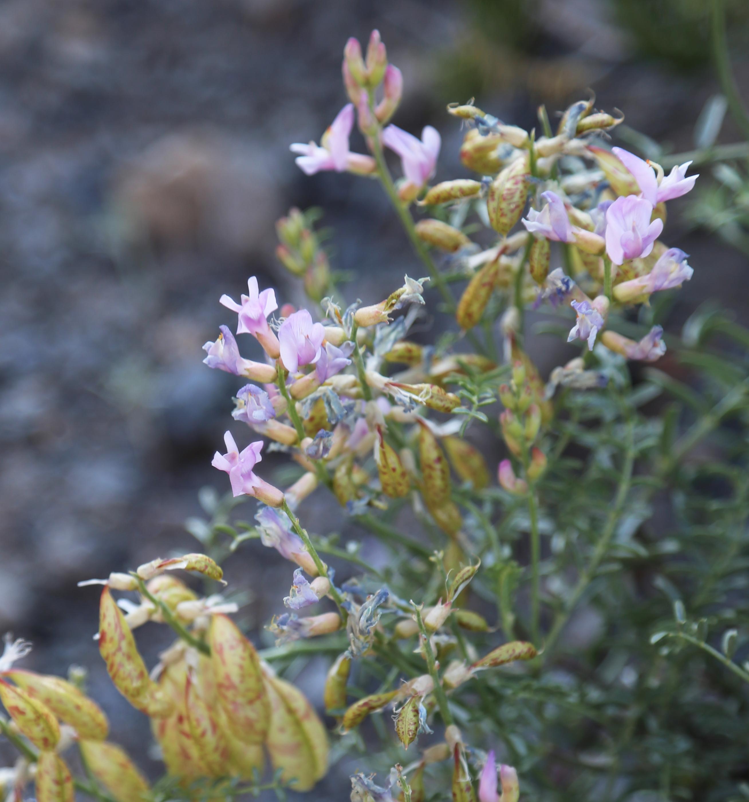 Бесстыдница цветок