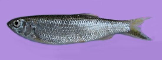 File:Barilius barila Fish Borali in Bengali.jpg
