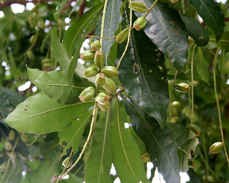 Barringtonia acutangula (Freshwater Mangrove) fruits in Kolkata W IMG 8545.jpg