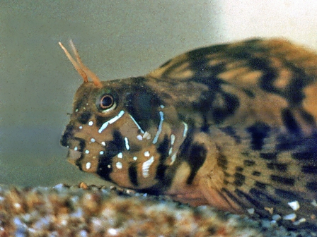 Blennius sphinx male.jpg