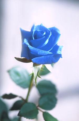 file blue rose jpg wikimedia commons