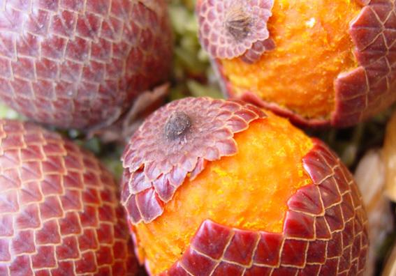 Buriti frutos