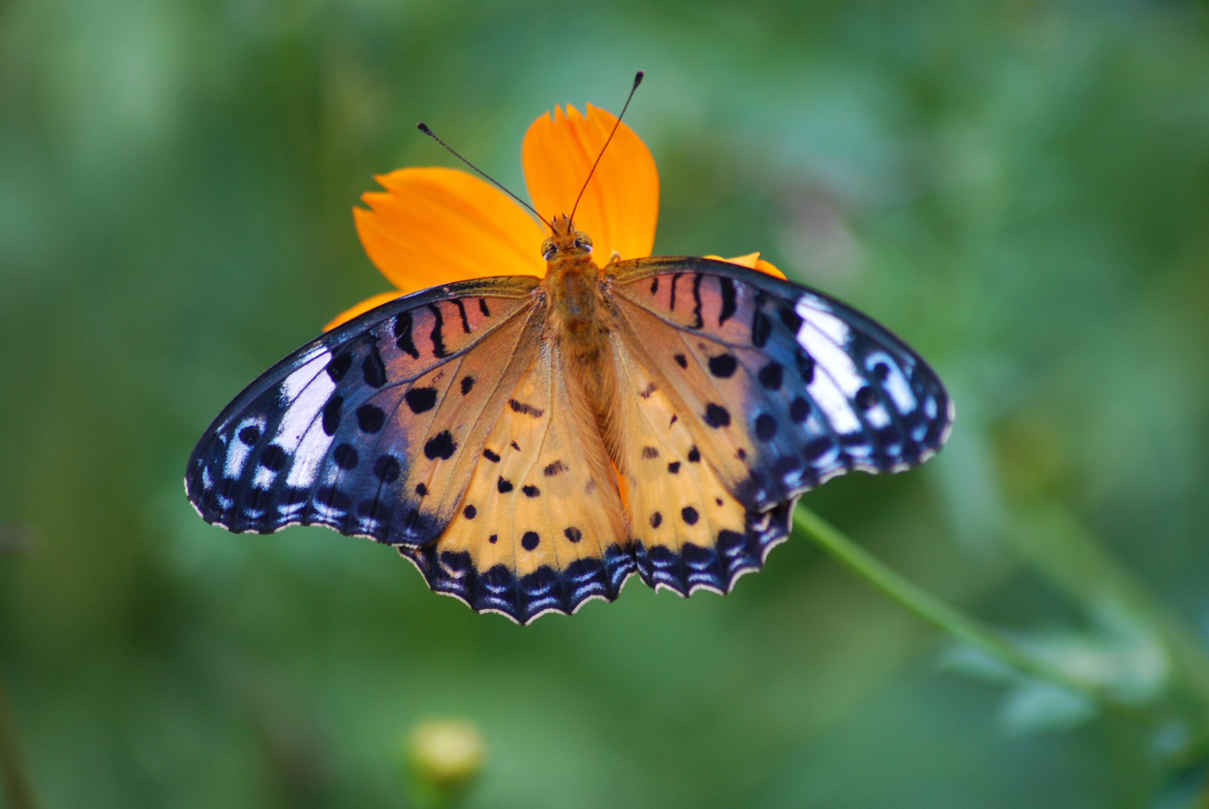 Description Butterfl