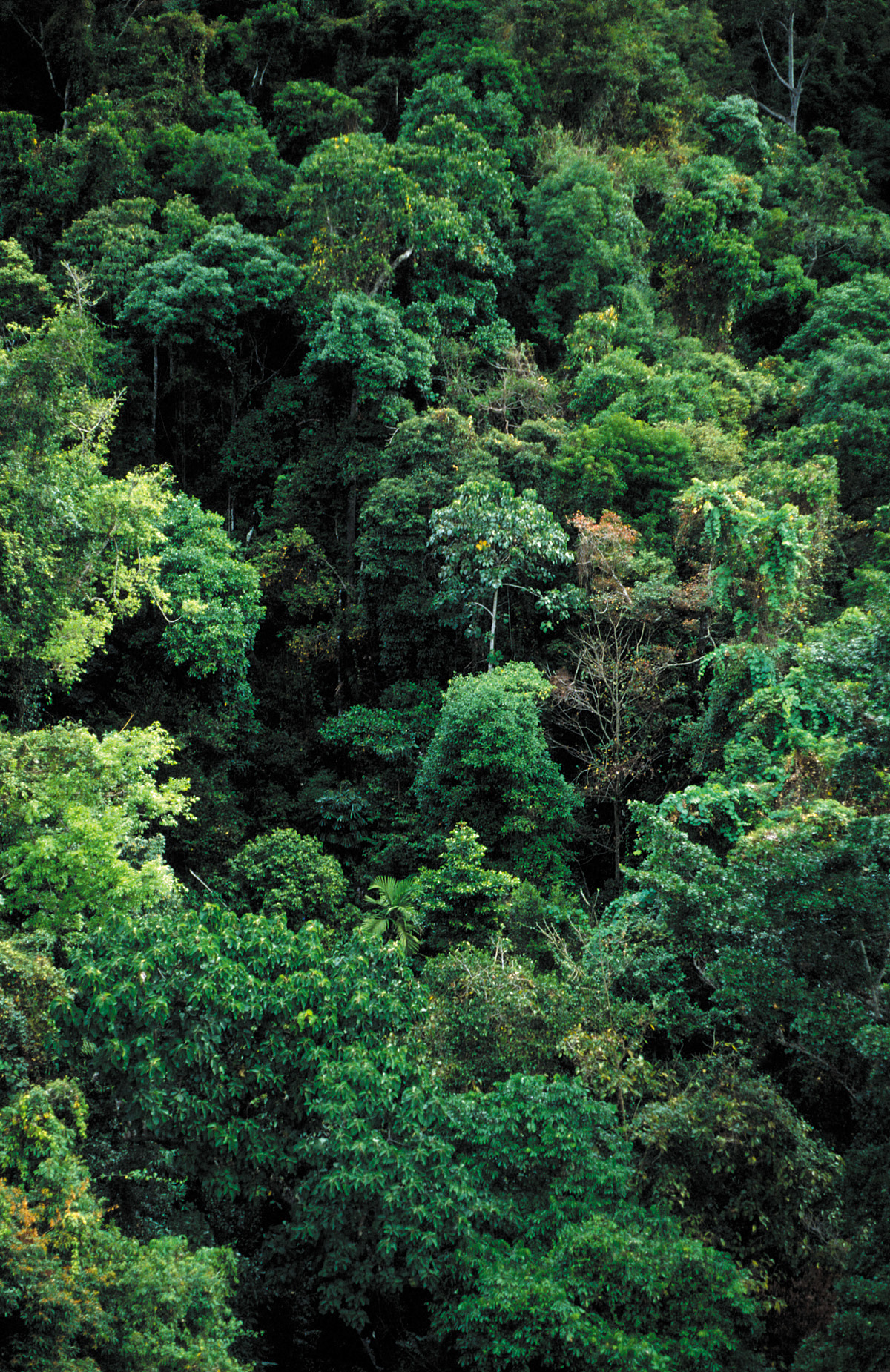 FileCSIRO ScienceImage 3827 Tropical rainforest canopy near Cairns QLD.jpg & File:CSIRO ScienceImage 3827 Tropical rainforest canopy near ...