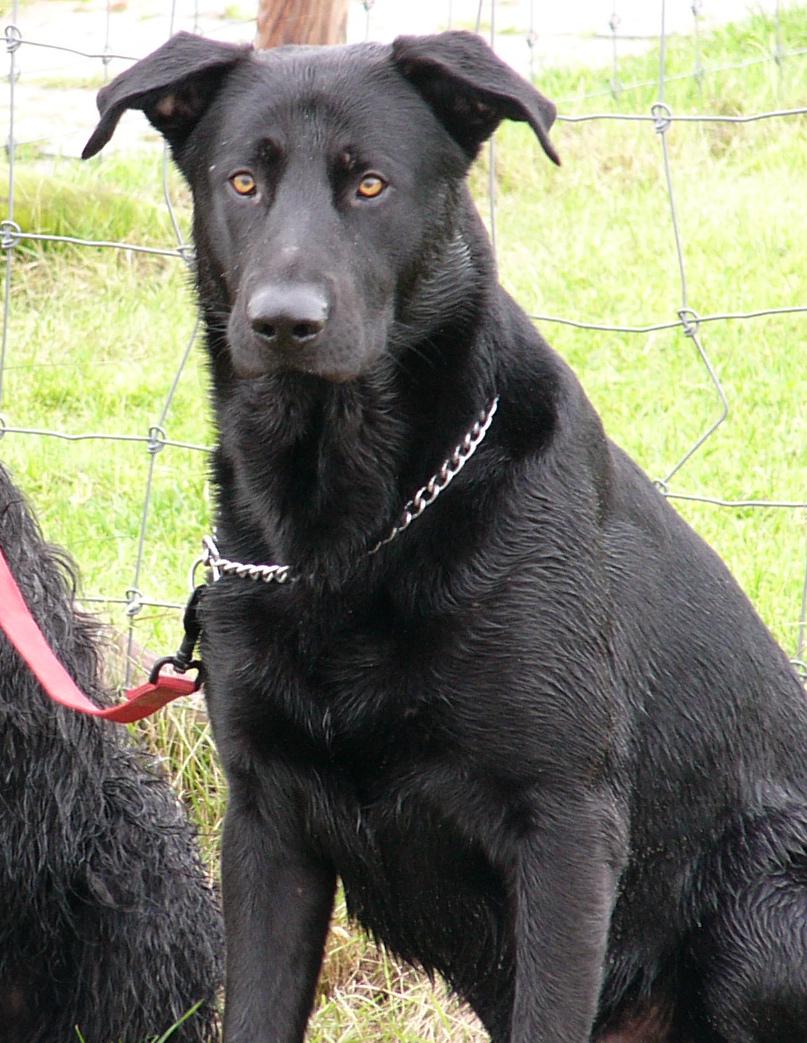 Majorca Shepherd Dog Wikipedia
