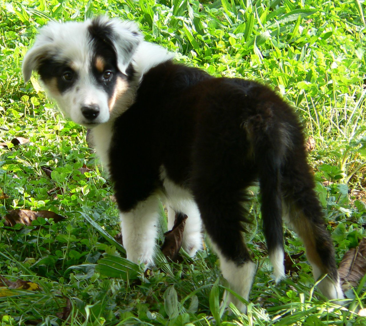 Are Border Collies Good Dogs