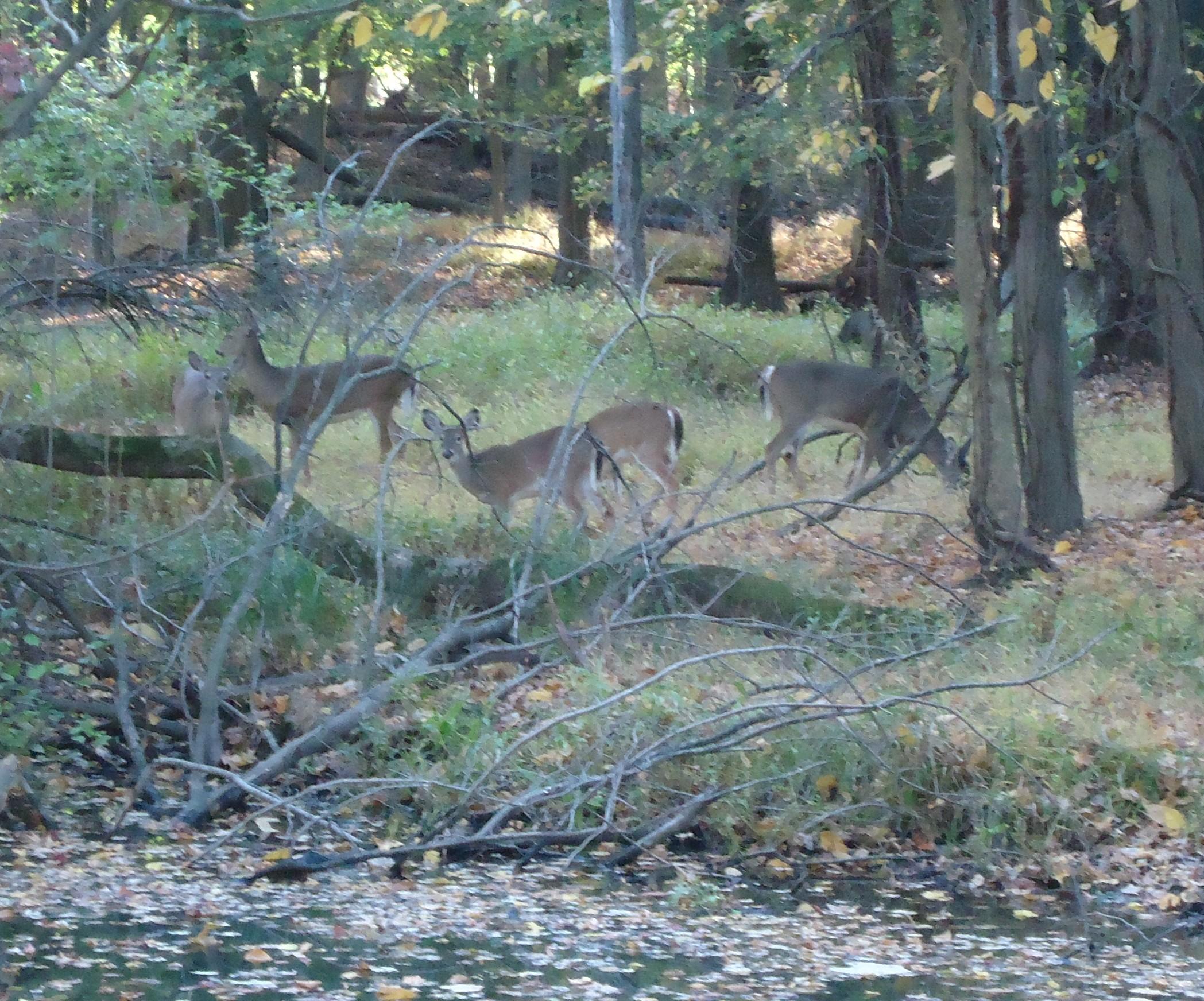 New jersey union county cranford - File Cranford Nj Deer In Park In Union County New Jersey Jpg