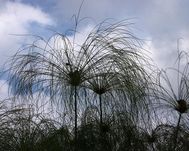 Cyperus papyrus7.jpg